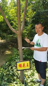 3年樱花王12公分